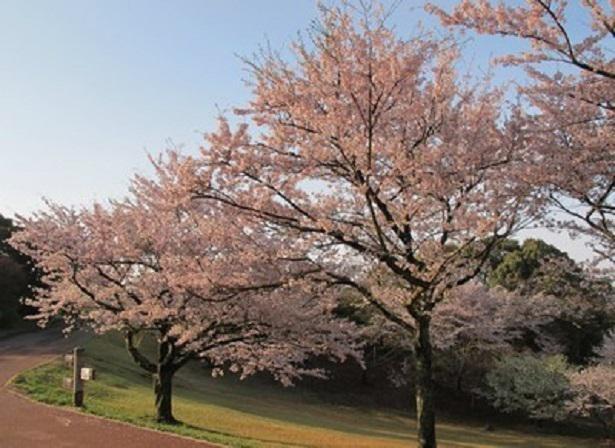 美しい桜が咲き並ぶ