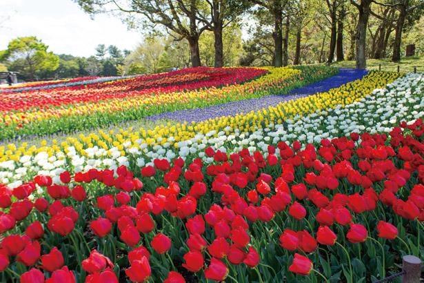 GWごろは、ネモフィラやハナビシソウ、ポピーといった花々が見ごろ / 木曽三川公園センター