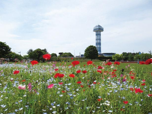 4月下旬から5月下旬まではルピナスやシャーレーポピー、キンギョソウなどが見ごろに / 木曽三川公園センター