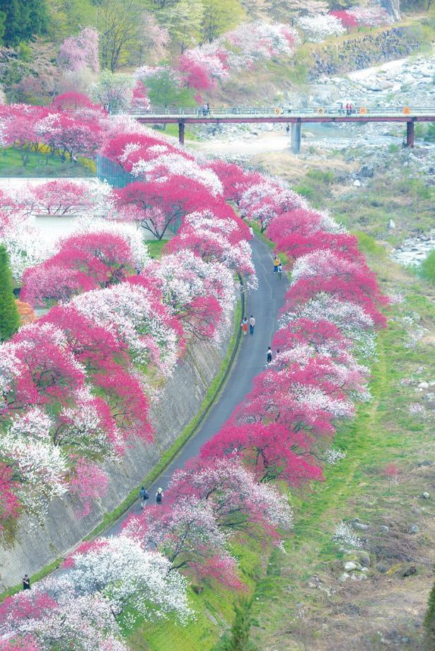 月川温泉郷 花桃の里は、紅、白、ピンクと3色の花桃が沿道の両側で花を咲かせる / 花桃の里