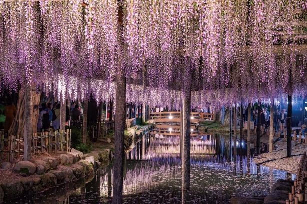 祭り期間中の18時ごろから21時ごろまでライトアップを実施。幻想的なフジの姿にも注目しよう / 天王川公園
