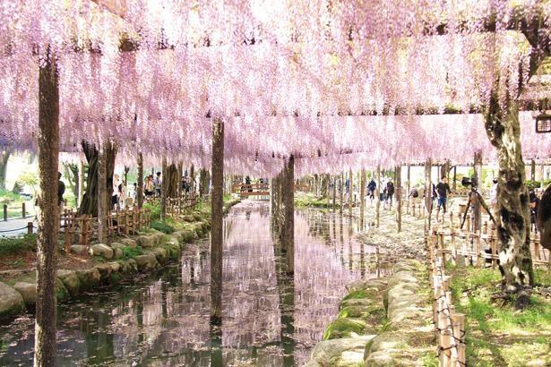 棚面積5034平方メートルに、キュウシャクフジを中心に12種類のフジが花を咲かせる/ 天王川公園