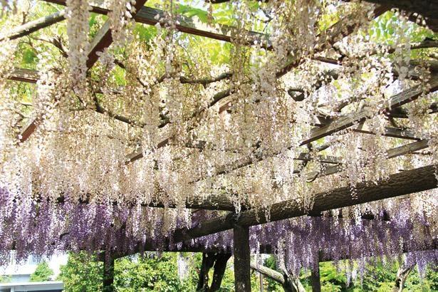 キュウシャクフジのほか、ウスベニフジなど、濃淡の異なるフジの花が、一帯を紫のグラデーションで彩る/ 天王川公園