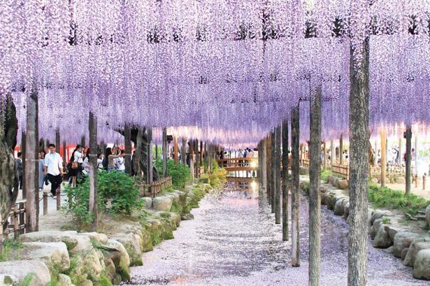 紫のカーテンのようで美しい / 天王川公園