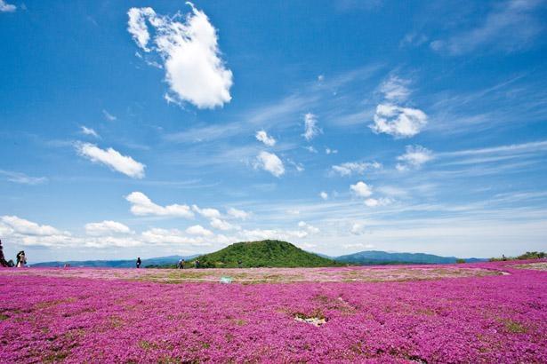 おすすめは園内の見晴らし台からの眺め。全6種類の色がある、芝桜の美しい競演を堪能しよう/ 茶臼山高原