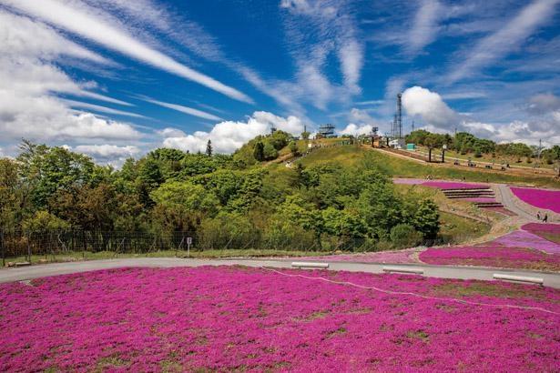 芝桜をいろいろな角度から堪能しよう / 茶臼山高原