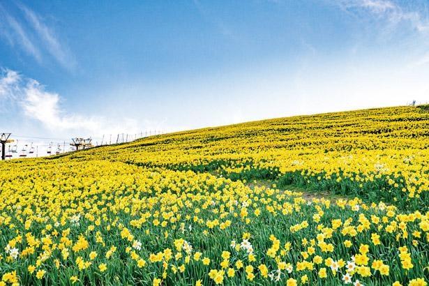 【写真を見る】黄色1色に染まるスイセン畑。どこまでも続く青空と、眼下に広がる琵琶湖ともあいまって鮮やか / びわ湖バレイ/びわ湖テラス