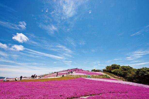 ピンク、白、淡青色など6種類の色を咲かせる芝桜。祭り期間中はライトアップも実施していて幻想的な光景が広がる / 茶臼山高原