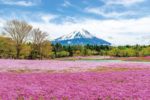 竜神池や会場を一望できる、高さ3.8mの展望台が絶好の撮影スポット / 富士芝桜まつり