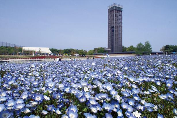 花ひろばをおおう青いじゅうたんは、約30万株のネモフィラ / 浜名湖ガーデンパーク