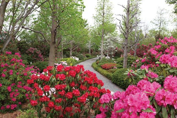 開花時期によって花がお色直しをしたように、園内の様子が変わる / シャクナゲまつり