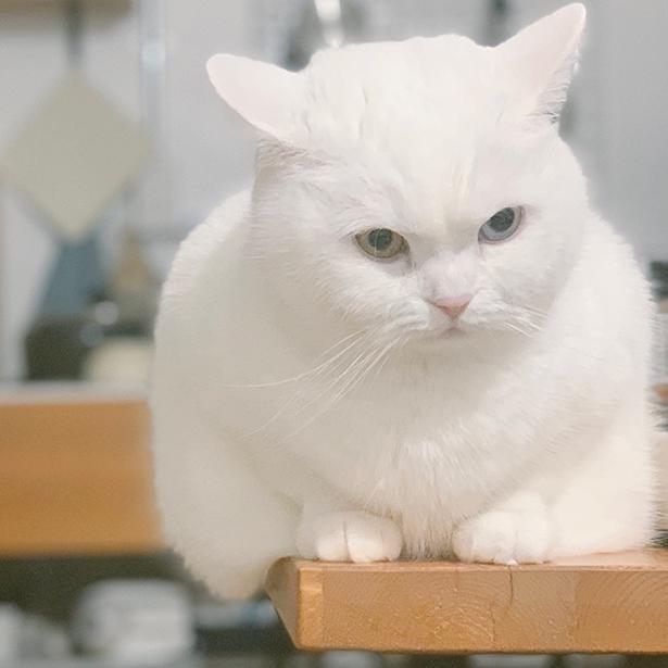 真っ白い毛とオッドアイが美しい!