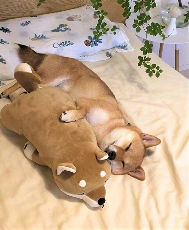 豆柴・はなちゃんの愛らしい寝姿にみんなメロメロ!