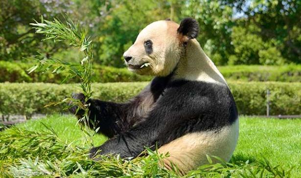 おいしそうに竹をほおばるお父さんパンダ、永明