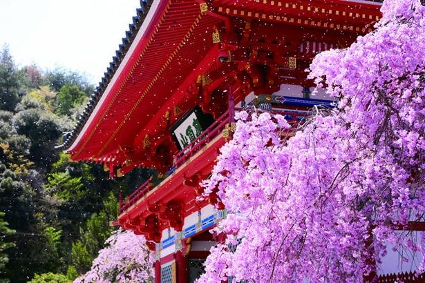 【写真】山門脇のシダレザクラが鮮やかに咲く