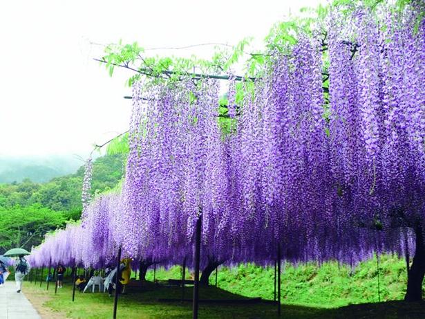 【画像を見る】藤の花本来の鮮やかな紫色を楽しめる昼の様子