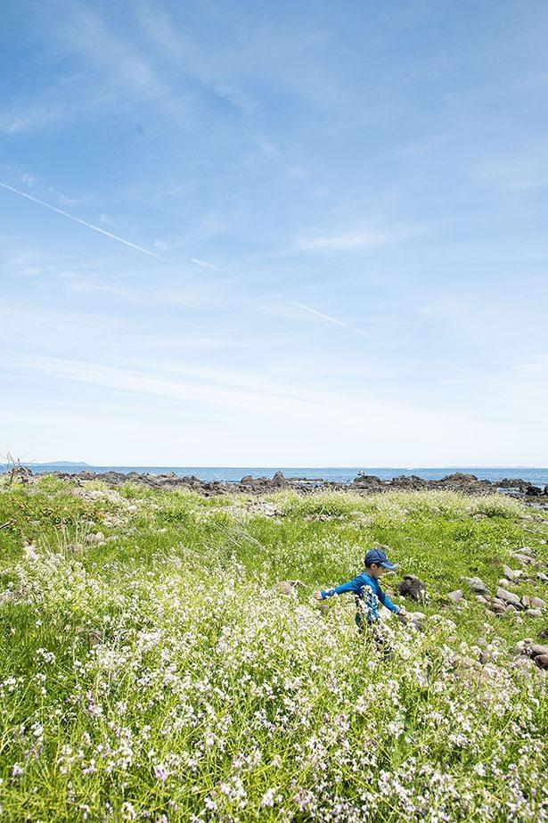 三ツ石海岸は春~初夏は可憐な花も一面に咲く。青空とマッチするとキレイ