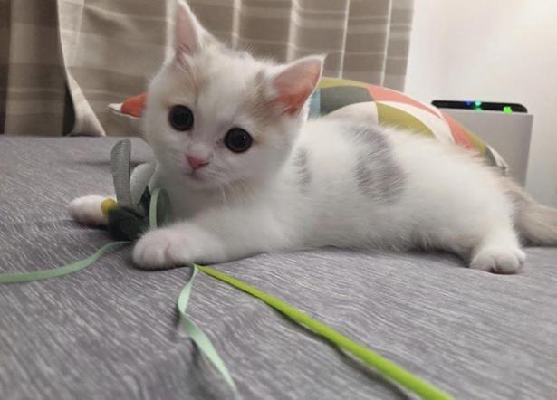 短い手足で猫じゃらしと遊ぶしらすちゃん