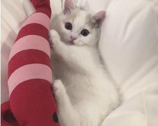 よちよち歩く姿や届かない猫パンチにメロメロ!?「短足猫」の魅力とは