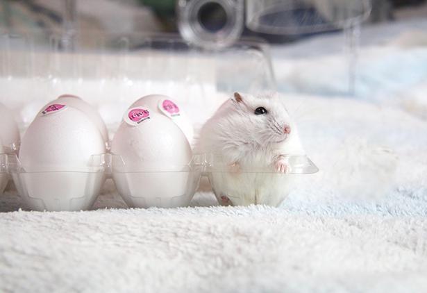 どれが本物!?卵の中に混ざるもち太くん