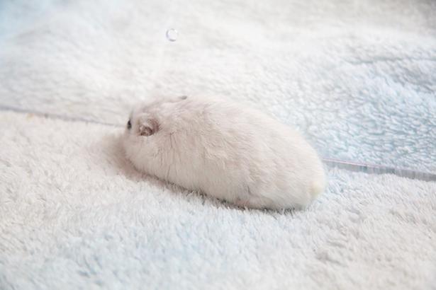 真っ白な毛とグレーの筋がポイント