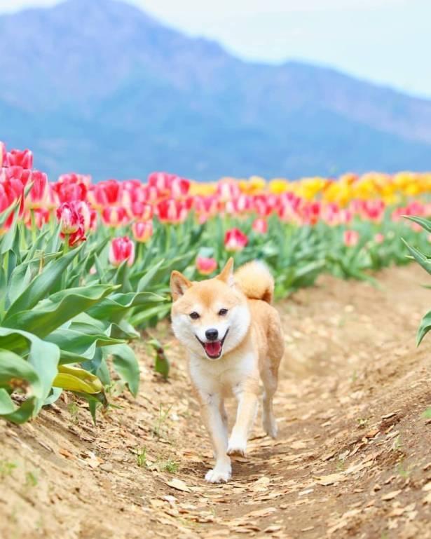 チューリップ畑でお散歩