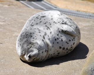 かわいさの極み!休館中のマリンワールド海の中道にアザラシの赤ちゃんが誕生