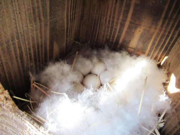 巣箱に卵が生まれていた!