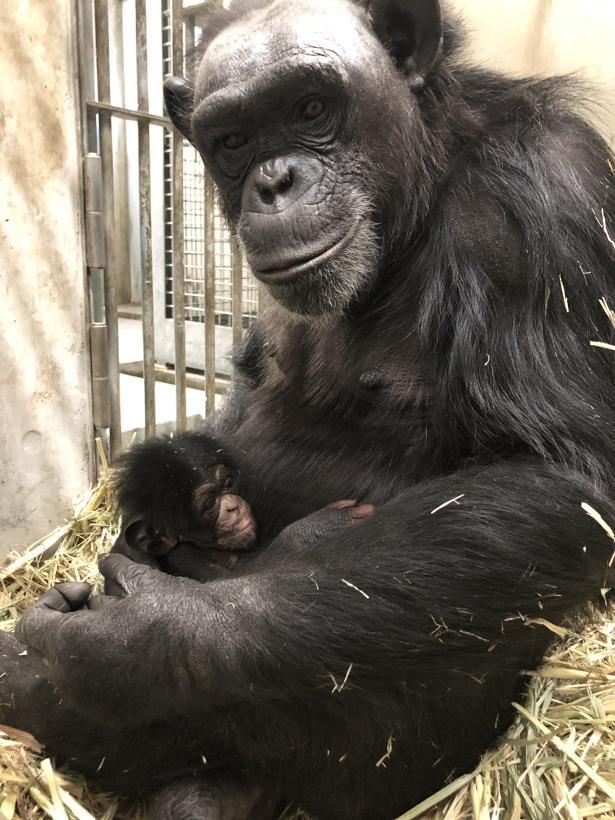 チンパンジーのモモと赤ちゃん