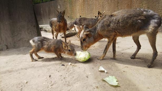 生後1か月のマーラのココアちゃんは食欲旺盛!
