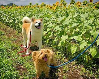 """秋田犬とミックス犬の""""でこぼこコンビ""""に癒される!2匹の気ままな旅の写真がSNSで話題"""