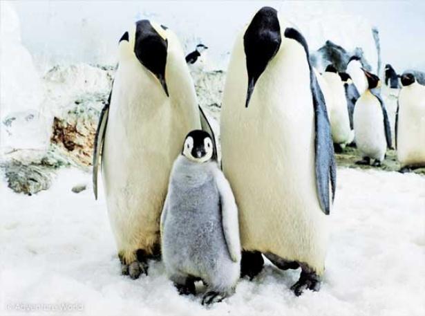 ペンギン界の皇帝・エンペラーペンギンは120cmのビッグサイズ!