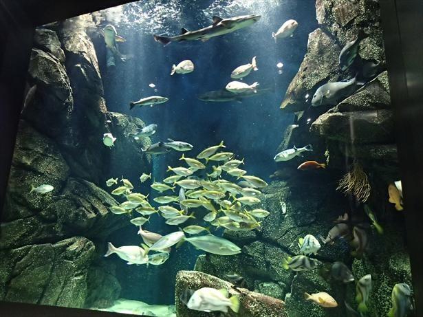 さまざまな魚が共存する庄内沿岸をイメージした大水槽