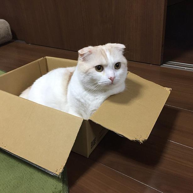 箱におさまるきなこちゃん