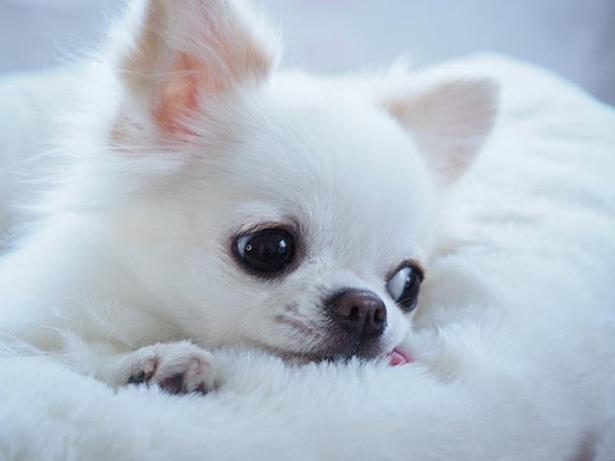 真っ白な毛並みが魅力的なチワワの雪ちゃん