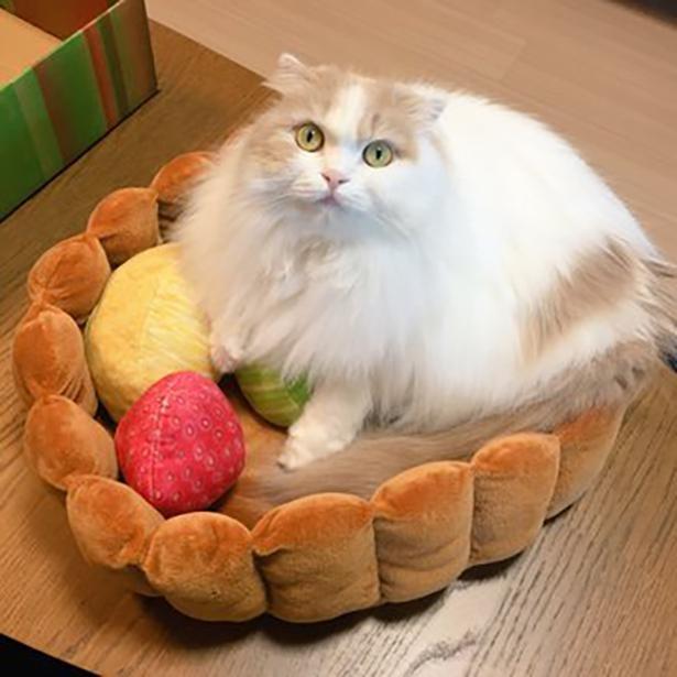 【写真】まるでフルーツタルトの猫トッピング!生クリームに擬態したハッピーちゃん