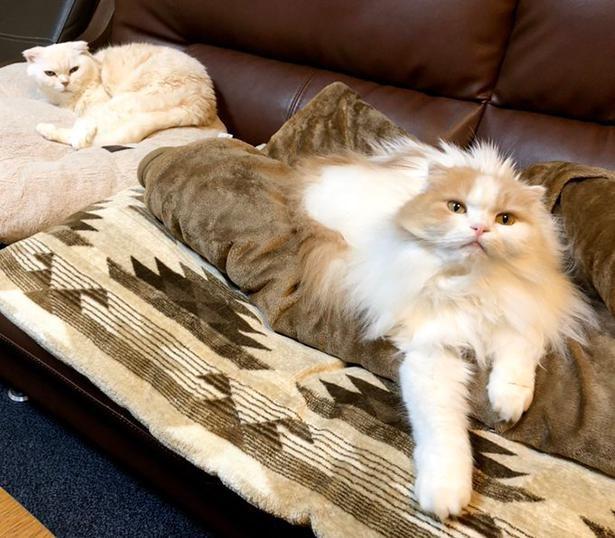 """短毛&""""THE・猫""""な性格のラッキーちゃんと長毛&猫なのに犬っぽい性格のハッピーちゃん"""