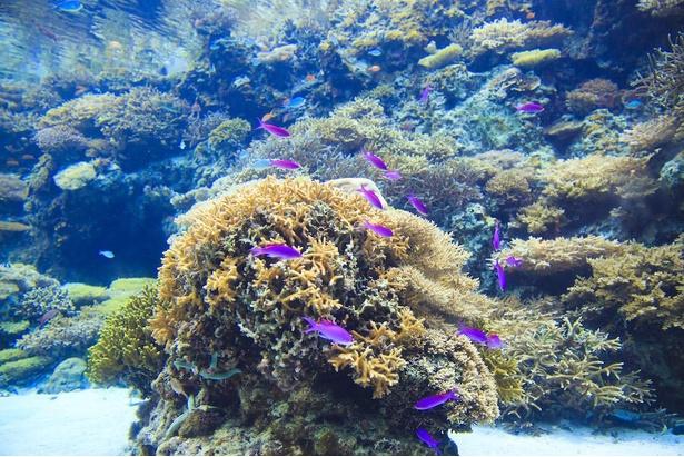 サンゴの種類は約70種。屋根のない水槽のため自然光が差し込む