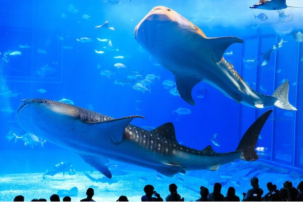 ジンベエザメとナンヨウマンタが暮らす水槽は容量7500平方メートル