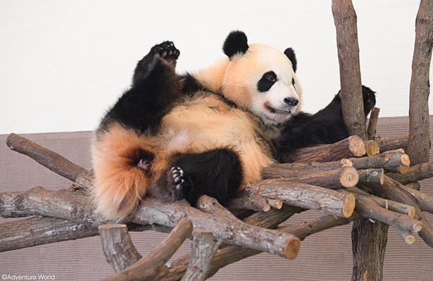 【写真】パンダがお腹を広げてデーンと大開脚。かわいい様子をリアルタイムでお届け