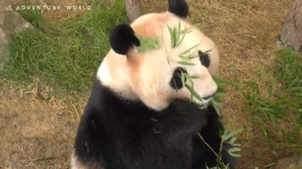 顔じゅうに竹を散らして夢中でもぐもぐするパンダの桃浜