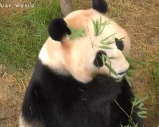 休園中の動物園は何をしている?パンダのVRライブを配信/アドベンチャーワールド