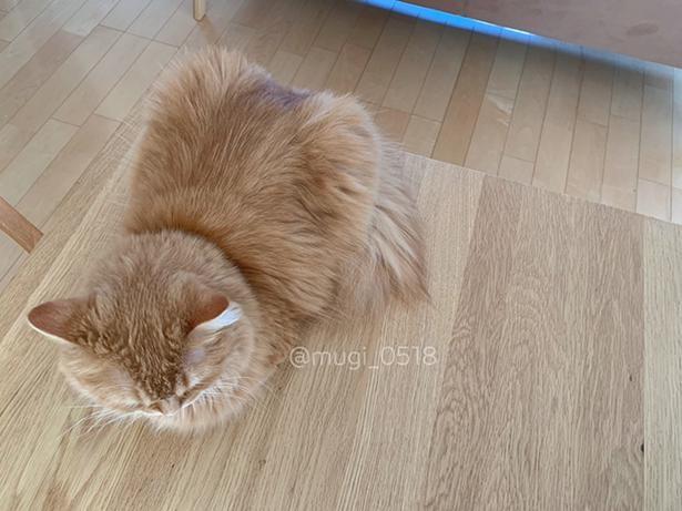 床と同化するむぎちゃん