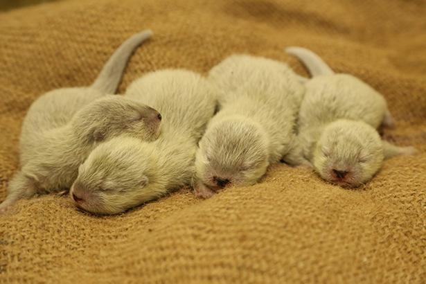 4月24日に誕生した、コツメカワウソの赤ちゃんたち