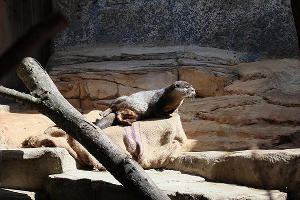 コツメカワウソは、カワウソの中で最も小さな種類