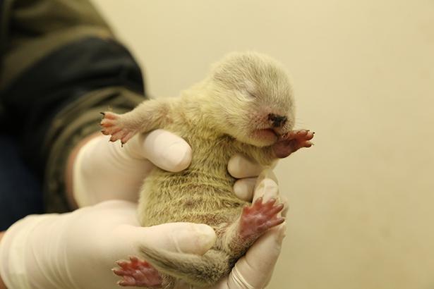 【写真】体長わずか14センチ!今しか見られないフワフワのキュートな赤ちゃんカワウソ