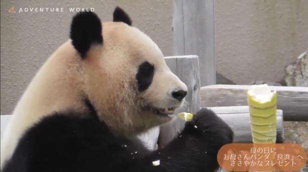 この時期に食べられるタケノコはパンダたちの大好物