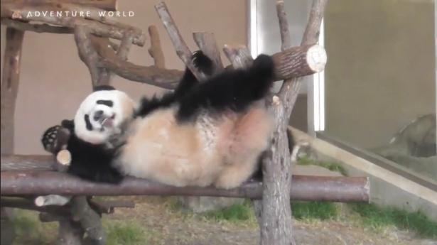 【写真】1歳のパンダ・彩浜が木の上でお腹を見せてゴロン。今日も元気いっぱい!