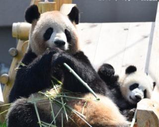 パンダ一家のママへ愛をこめて花束を!/アドベンチャーワールドのパンダ通信