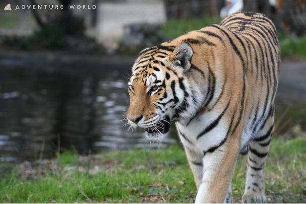 別名シベリアトラとも呼ばれているネコ科最大の動物アムールトラ